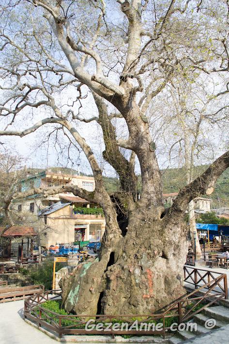 tam 1000 - 1200 yıllık olan anıt ağaç Musa Ağacı, Hıdırbey köyü Samandağ Hatay