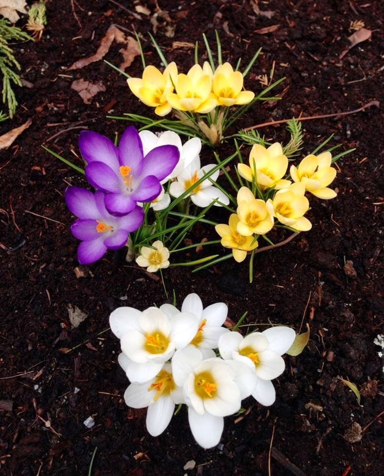 Finally...Crocus Spotted in Watertown