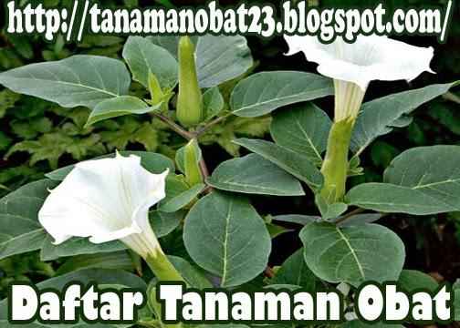 Kecubung Gunung  (Brugmansia suaveolens [H. et B.] B. et P)