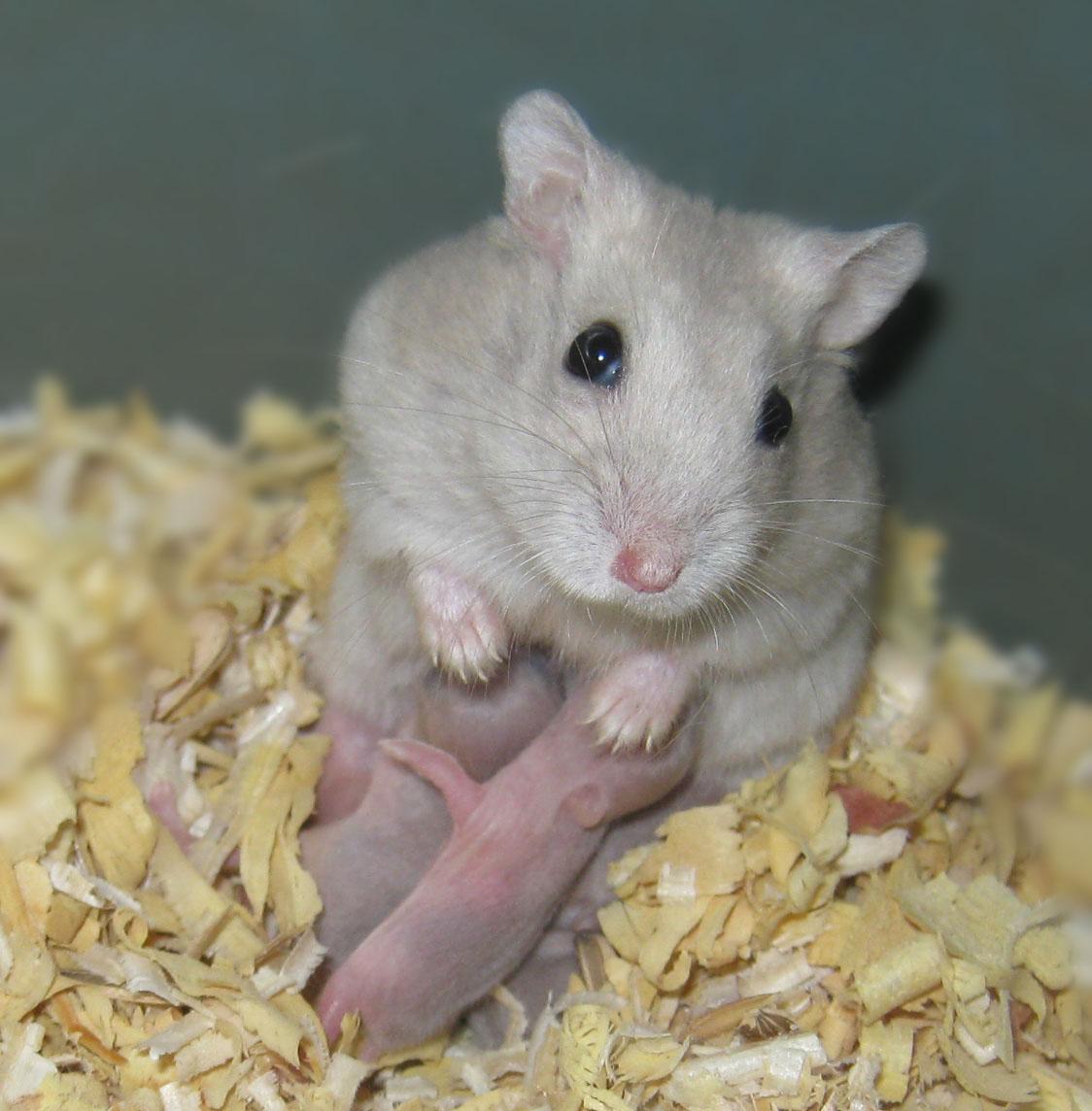 Hamster Imut