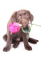 Perrito trae en su ocico una rosa para su pareja adorada