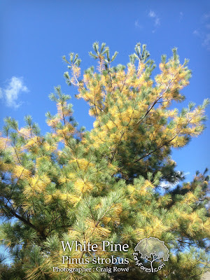 White Pine Fall Color