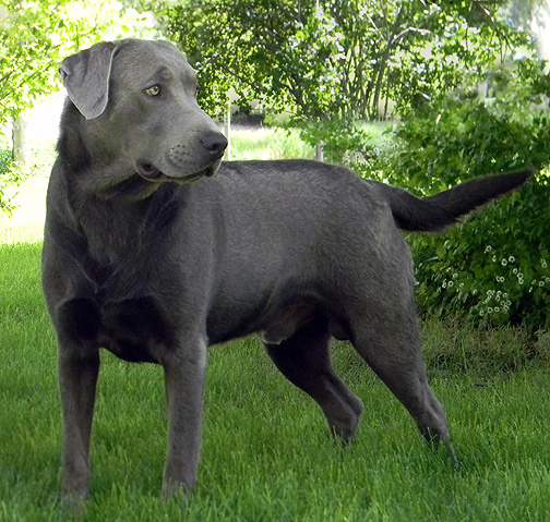 Pictures Of Labrador Retrievers | Dog Breeds Picture