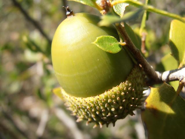COSCOJA-Quercus-coccifera