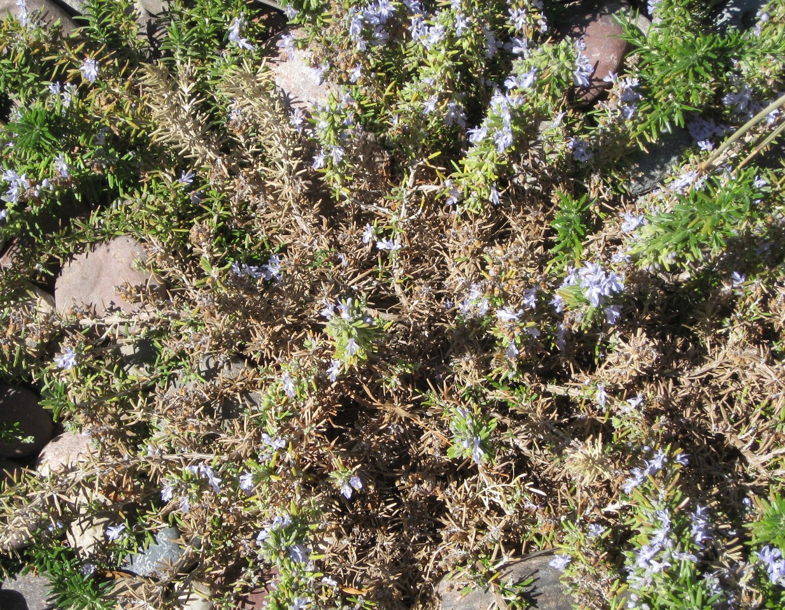 Xtremehorticulture of the Desert: Rosemary Dying Usually Soil Problem