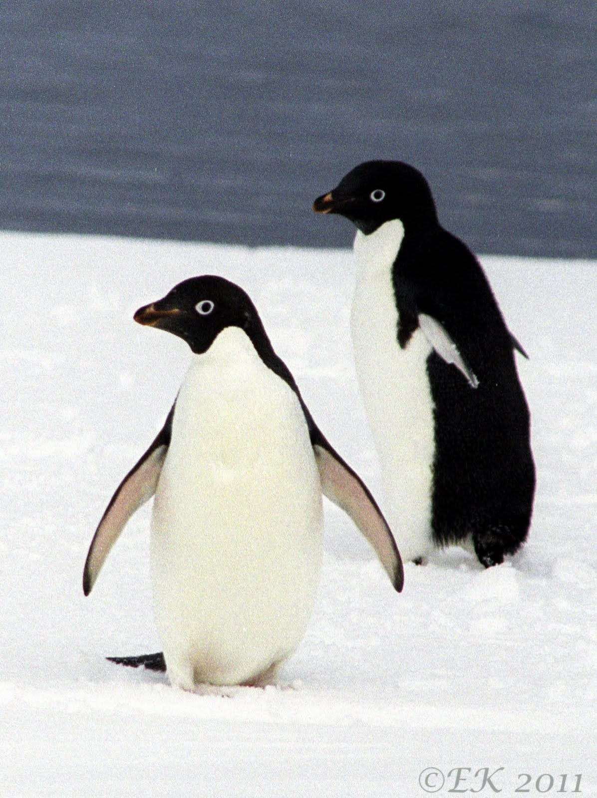 OK  enough with these scary animals  Cute - Give me something cute Cute Adelie Penguin