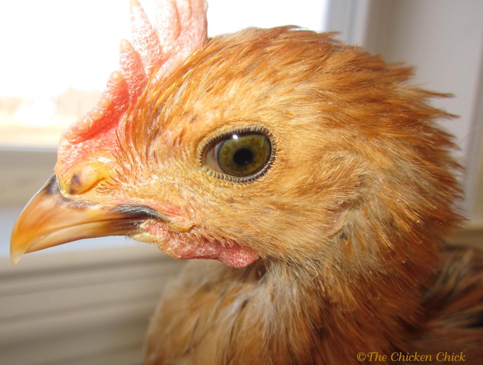 the chicken chicken anatomy nictitating membrane the