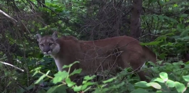 Mountain Lion Has Incredible Standoff With Lone Hiker