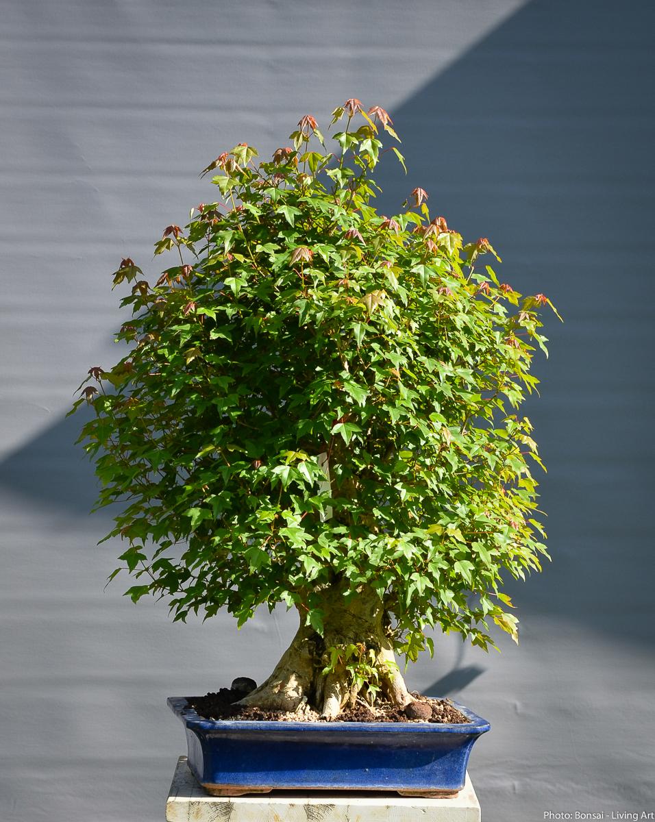Bonsai Living Art Restart Of Acer Buergerianum