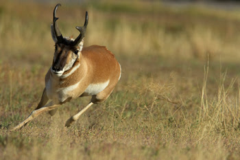 Pronghorn Antelope - Information and Wallpapers
