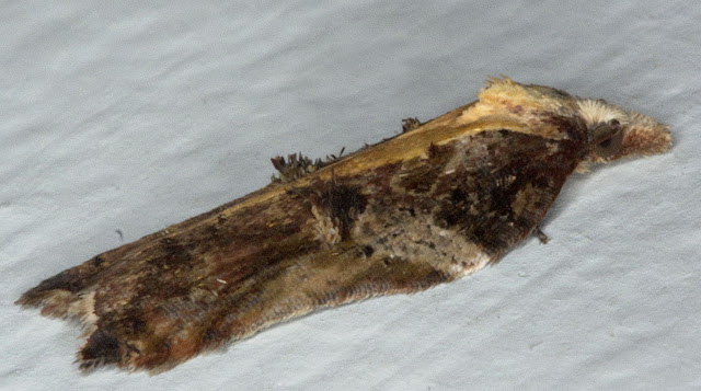 Rufous-margined Button Moth, Acleris cristana, showing the wing tufts.  24 February 2012.