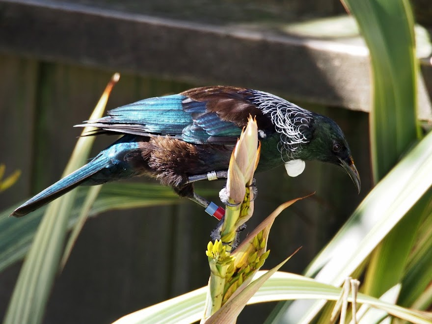 Colour Banded Tui