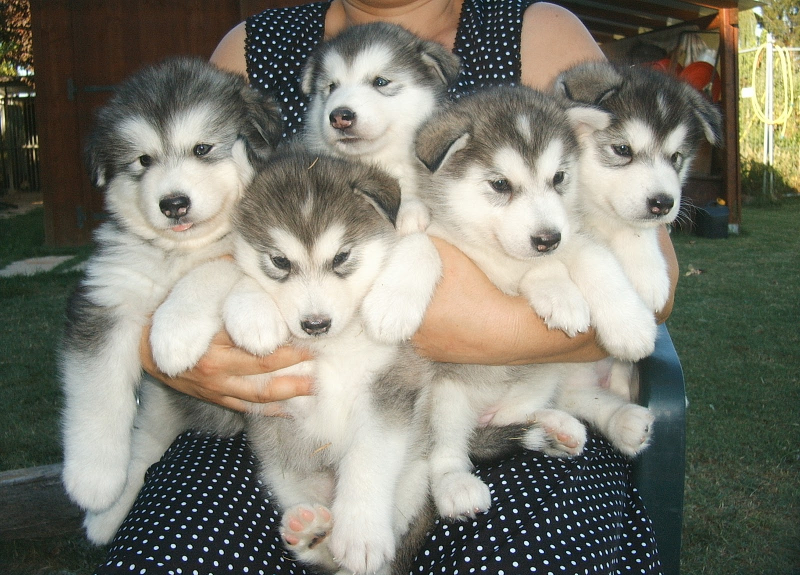 Alaskan Malamute Husky Puppies widescreen wallpaper