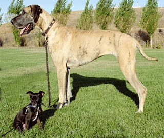 sweet brindle great dane rottweiler cross for sale in - m5x.eu