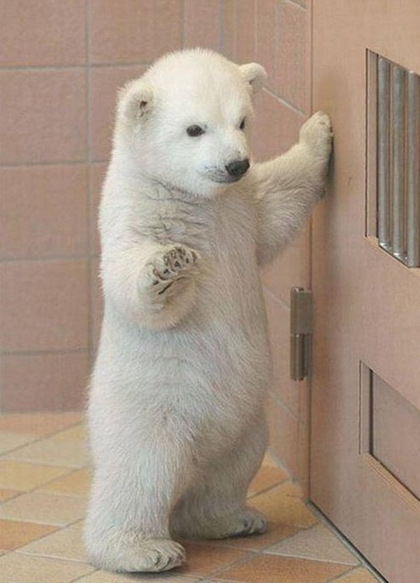 Funny polar bear picture, polar bear, cute polar bear