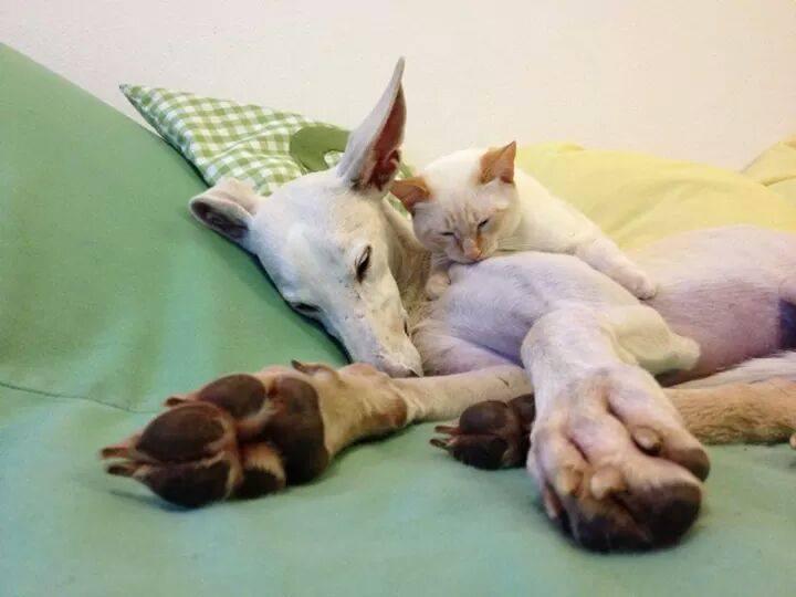Galgo y gato
