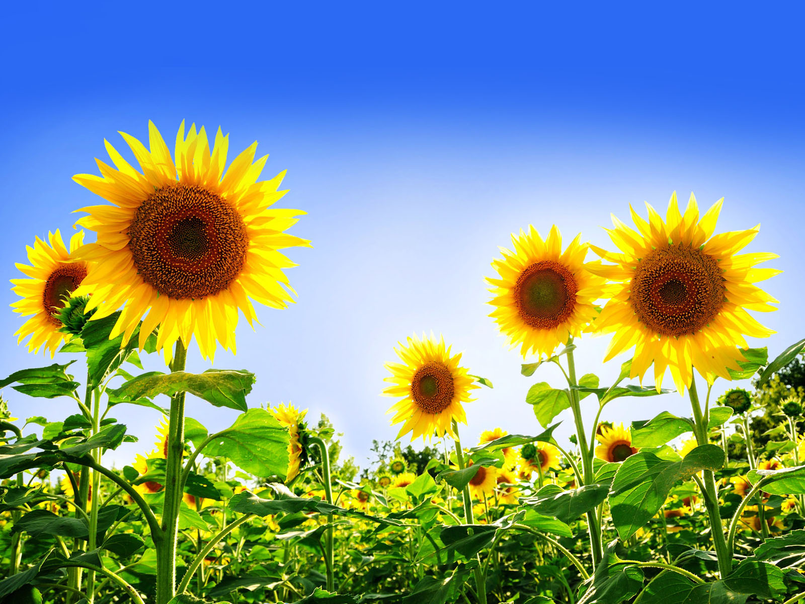 Tags Sunflowers Wallpapers Desktop Backgrounds Pictures Images