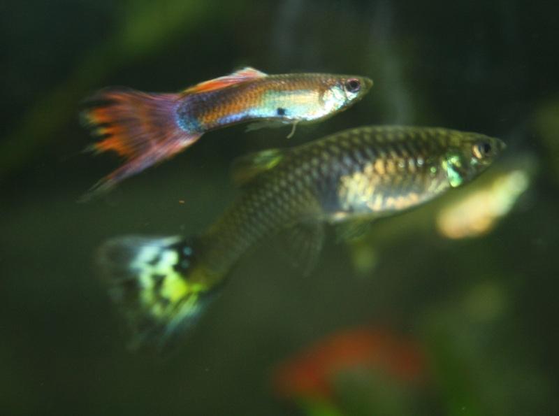 AquarioTrucs: Zoonose : La tuberculose du poisson