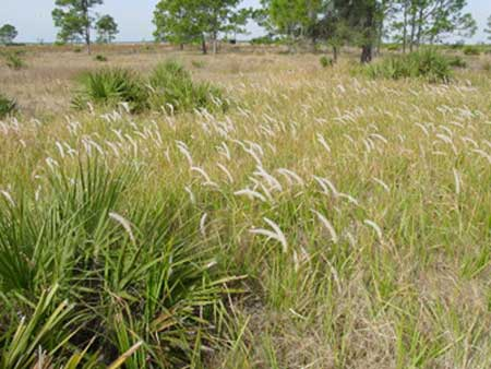 ningas cogon Yougov surveyed people online for their new year's resolution is a tall-bladed grass that is super combustible when dry and ningas means flame cogon grass is.