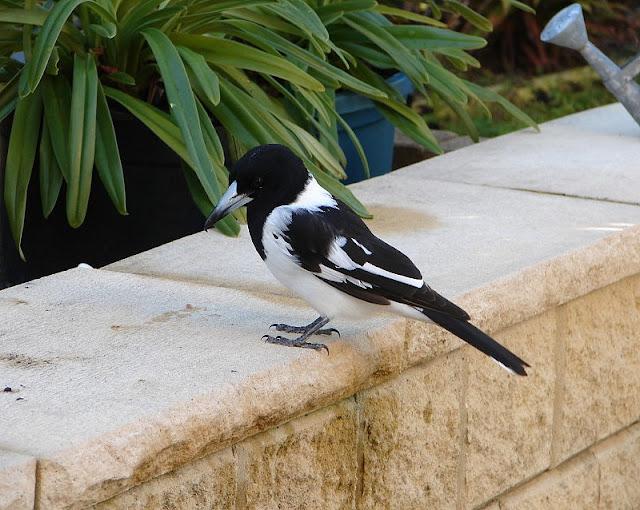 Random butcherbird photographs