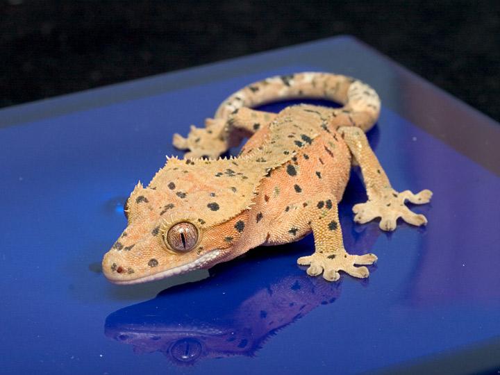 Reptileobsession: Cres...