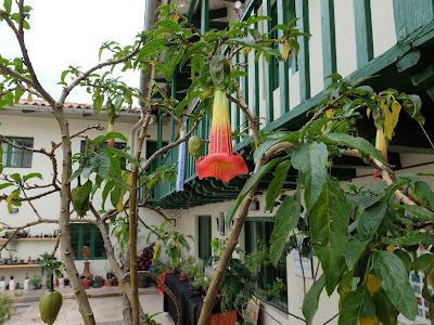 Brugmansia at Museo de Plantas Sagradas, Magicas y Medicinales