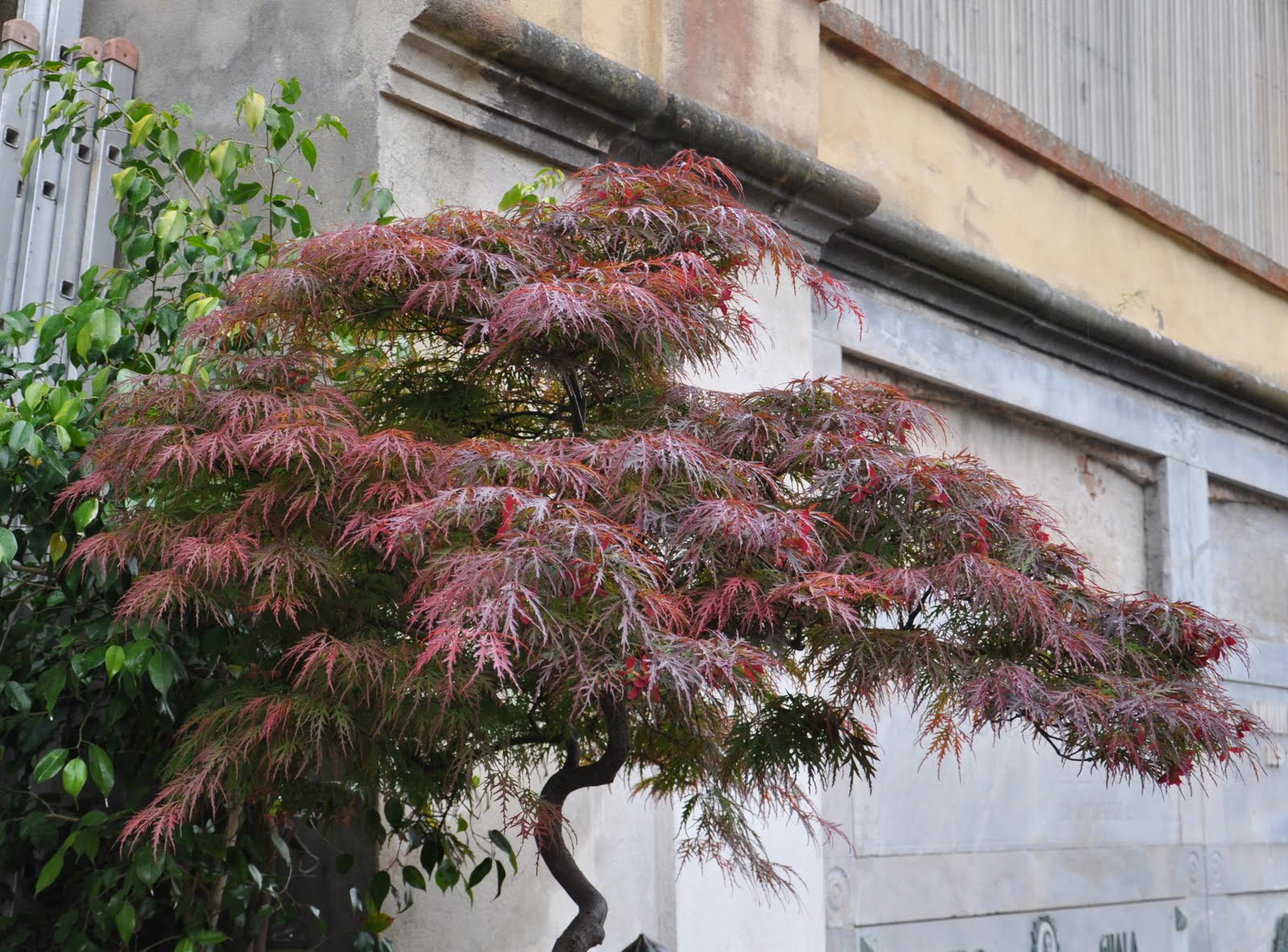 Cagliari in verde risposta a un quesito l 39 acero giapponese for Acero giapponese