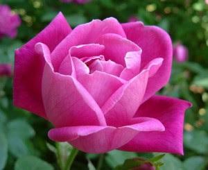 bunga+ mawar pink