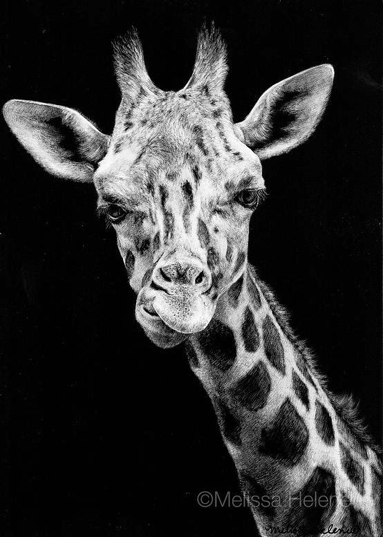 16-Giraffe-Melissa-Helene-Amazing-Expressions-in-Scratchboard-Animal-Portraits-www-designstack-co
