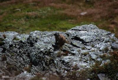 Tatra marmot