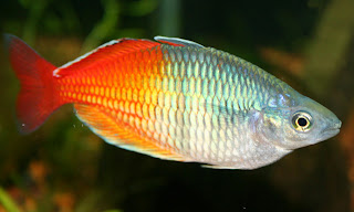 rainbow fish 5