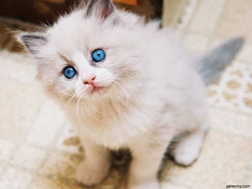 Photo chaton 1 mois avec yeux bleus