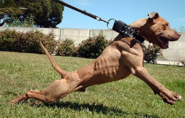 The Real APBT: Dog Fig...
