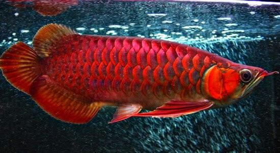 ikan: arwana red banjar