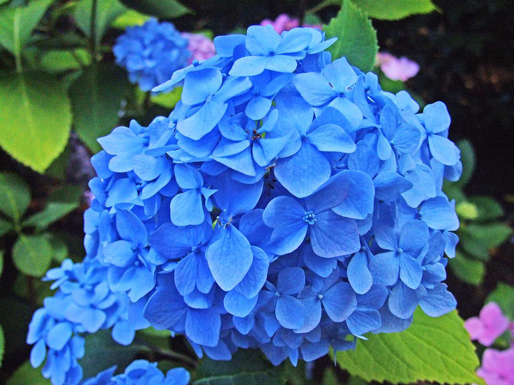 http://1.bp.blogspot.com/-rz-HYLWCFjM/TdSbi9tjBMI/AAAAAAAAAR0/Cq8RPUUJOCs/s1600/Blue_Flowers.jpg