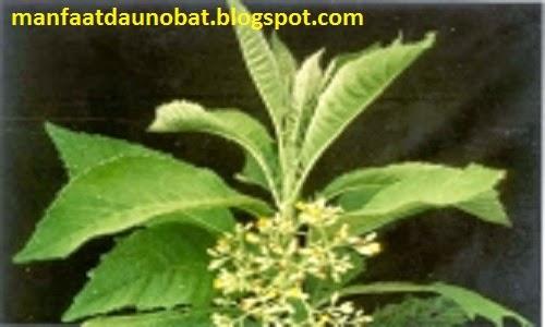 khasiat daun sembung