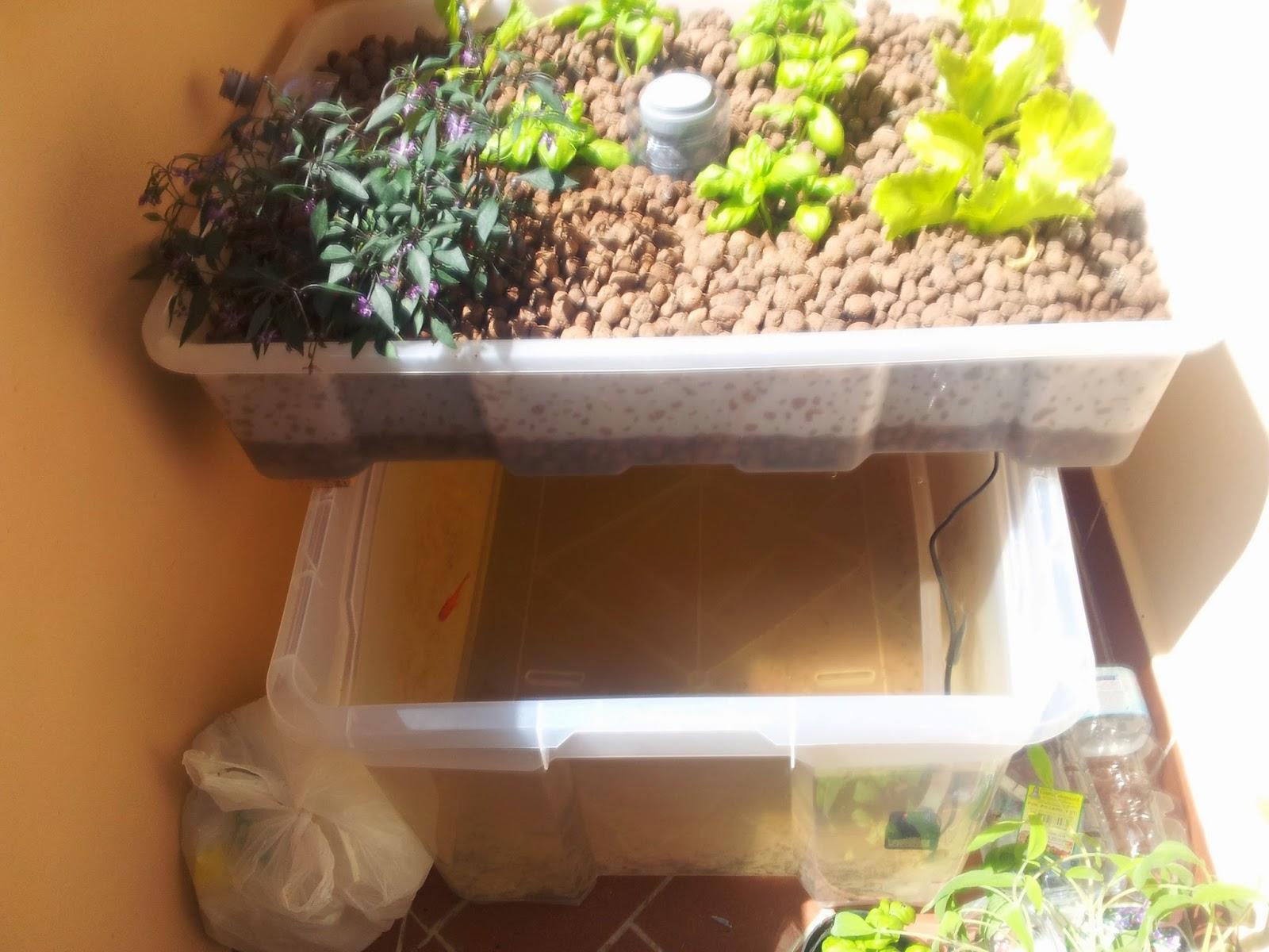 Acquaponico esperimento di acquaponica sul terrazzo for Carpa koi allevamento
