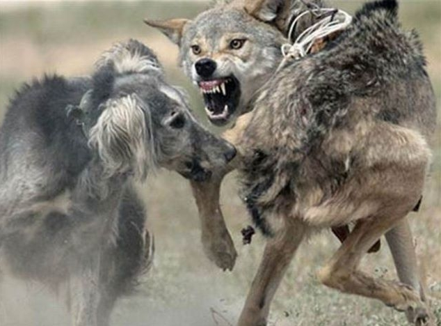 Judge Okays Wolf Hunting with Dogs in Wisconsin