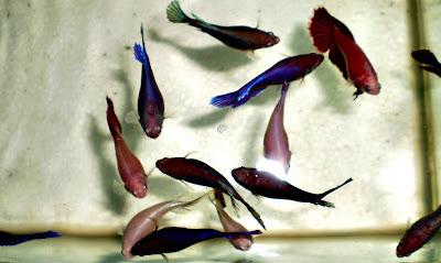 ikan laga betina