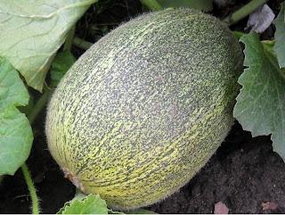 1 августа, плод дыни
