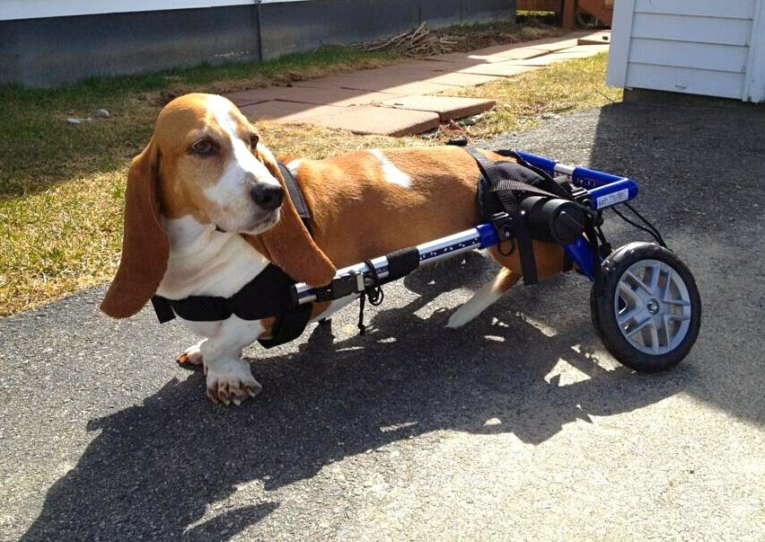 Handicapped Pets Seeing Dog Wheelchair Double