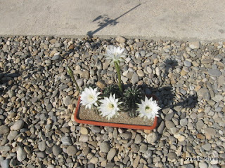 cactusi-la-jardiniera