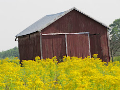 Red Barn among Mustard Plants