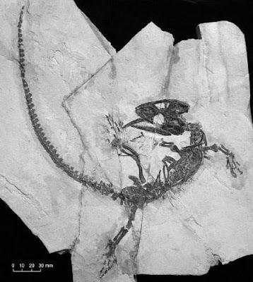 Monjurosuchus skeleton