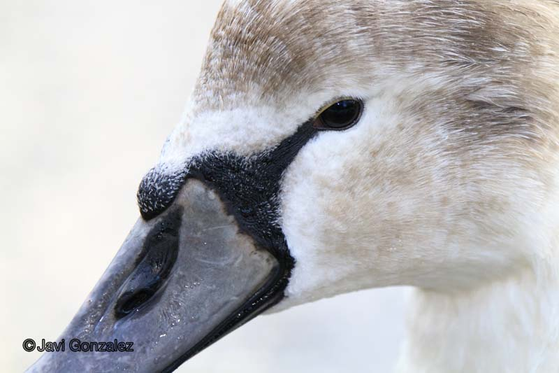 Swan, animales, animals, cisne, Edinburgh, Scotland,