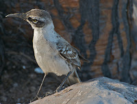 Galapagos Mockingbird on Rabida Island