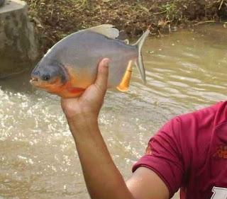 Preparation for keeping fish Bawal