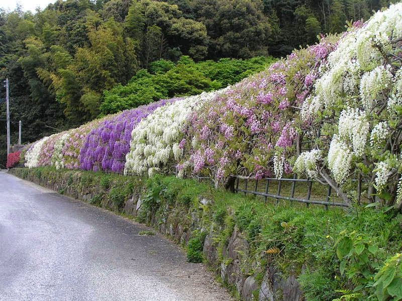 Fun is gud fao the wisteria flower tunnel at kawachi Wisteria flower tunnel path in japan