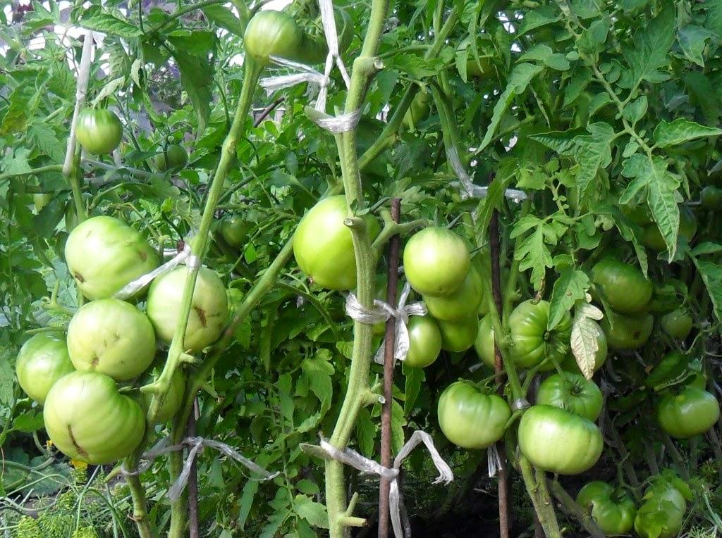 Индетерминантные помидоры наливают плоды