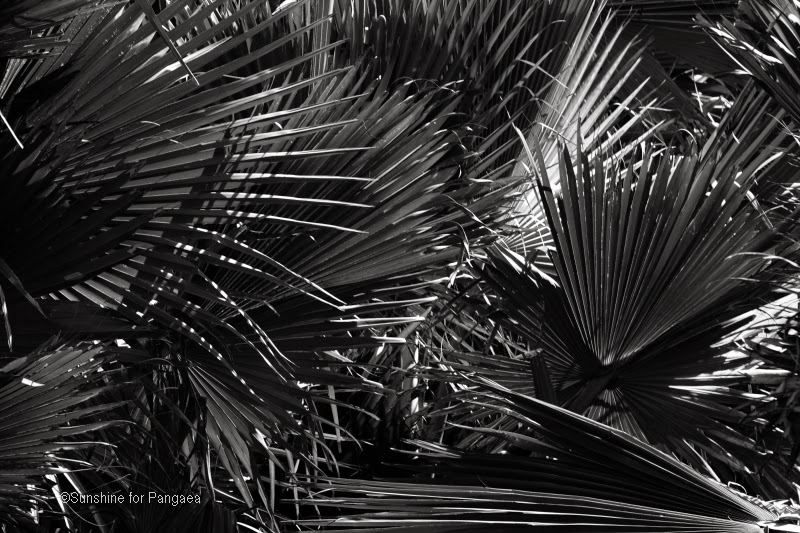 palm leaves black and white photography